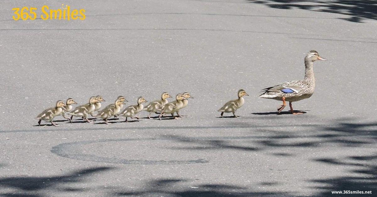 Mother duck crosses the street